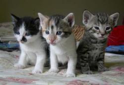 3 cica
